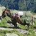 Il mulo dei pastori.