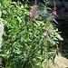 Epilobium angustifolium L.<br />Onagraceae<br /><br />Garofanino maggiore.<br />Epilobe à feuilles étroites.<br />Wald-Weidenröschen.