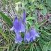 Campanula barbata L.<br />Campanulaceae<br /><br />Campanula barbata.<br />Campanule barbue.<br />Bärtige Glockenblume.<br />