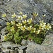 Moos-Steinbrech auf dem Felderjöchl, Saxifraga bryoides