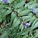 Gentiana asclepiadea L.<br />Gentianaceae<br /><br />Gentiana asclepiade.<br />Gentiane à feuilles d'asclepiade.<br />Schwalbenwurz Enzian.