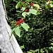 Lonicera xilosteum L. Caprifoliaceae  Caprifoglio peloso, Madreselva pelosa, Gisilòstio. Chèvrefeuille des haies. Rote Heckenkirsche.