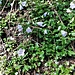 Campanula cochlearifolia Lam. Campanulaceae  Campanula dei ghiaioni. Campanule nane. Niedliche Glockenblume.