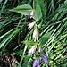 Campanula trachelium L. Campanulaceae  Campanula selvatica. Campanule gantelée. Nesselblättrige Glockenblume.