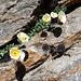Blumenidylle 1 - in der Felsritze