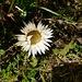 Schon winkt der Herbst: Carlina acaulis (Silberdistel)