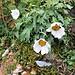 Leucanthemum halleri (Vitman) Ducommun Asteraceae  Margherita di Haller. Marguerite de Haller. Hallers Margerite.
