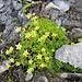 Saxifraga bryoides L.<br />Saxifragaceae<br /><br />Sassifraga brioide.<br />Saxifrage mousse.<br />Moosartiger Steinbrech.