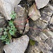 Geum reptans L.<br />Rosaceae<br /><br />Cariofillata delle pietraie.<br />Benoite rampante.<br />Kriechende Nelkenwurz.
