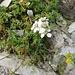 Achillea erba-rotta subsp. moschata (Wulfen) Vacc.<br />Asteraceae<br /><br />Millefoglio del granito.<br />Achillée musquée.<br />Moschus-Schafgarbe.