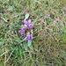 Gentiana campestris L. s.str. Gentianaceae  Genziana campestre. Gentiane champetre. Feld-Enzian.