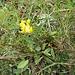 Anthyllis vulneraria s.str.<br />Fabaceae<br /><br />Vulneraria comune.<br />Anthillide vulnéraire.<br />Gewönliche Wundklee.