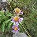 Aster alpinus L.<br />Asteraceae<br /><br />Astro alpino.<br />Aster des Alpes.<br />Alpen-Aster.