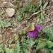 Flockenblume mit Besuch, auch die Schmetterlinge müssen die letzten Blüten nutzen