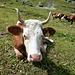 Kuh Nr 4833 beim Ausruhen