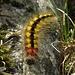 Der gelb-schwarze Teddybär am Grat ist die Raupe der [http://www.lepiforum.de/lepiwiki.pl?Acronicta_Euphorbiae Wolfsmilch-Rindeneule, Acronicta euphorbiae]... sagen meine Spezialisten:-) / Questo orsacchiotto giallo-nero è il bruco della [http://www.lepiforum.de/lepiwiki.pl?Acronicta_Euphorbiae Acronicta Euphorbiae]... mi hanno detto i mei specialisti delle farfalle:-)