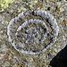 Prächtiges getrocknetes Ringmoos auf flechtengrundiertem Gneis