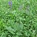 Salvia verticillata L. Lamiaceae  Salvia spuria, Salvia dei prati. Sauge verticilée. Quirlige salbei.