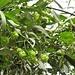 Humulus lupulus L. Cannabaceae (incl. Moraceae p.p.)  Luppolo comune. Houblon. Hopfen.