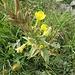 Oenothera biennis L. Onagraceae  Enagra comune. Onagre bisanuelle. Gewöhnliche Zweijährge Nachtkerze.