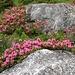 üppig blühen die Alpenrosen