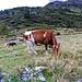 Mucca della Val Carassina