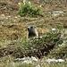 Koala im Oberhalbstein?