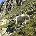 Die Schafe hier sind sehr neugierig