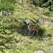 bell'esemplare femmina di Cervo