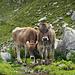 Kritisches Rindvieh an der Alp Grueb