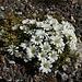 Das seltene Alpenhornkraut (Cerastium alpinum)