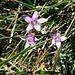 Gentiana ramosa Hegetschw.<br />Gentianaceae<br /><br />Genziana ramosa.<br />Gentiane rameuse.<br />Reichästiger Enzian.
