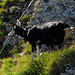 Am und um den Klettersteig machten es sich diverse Ziegen gemütlich, das Stahlseil dient ihnen als Kratzbürste :-D