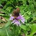 Flockenblume als Essenslieferant