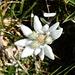 am Gladki rob finden wir zahlreiche dieser edlen Bergblumen 2 ...