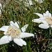 auch auf dem Rückweg erfreuen uns die prächtigen Alpenblumen ...
