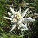 am Gladki rob finden wir zahlreiche dieser edlen Bergblumen 1