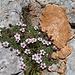 unterschiedlich gefärbter Kalk mit Steinbrech