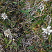 I spotted a few edelweiss flowers. Some were still quite pretty.