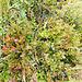 Sehr viele Heidelbeeren