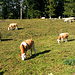 Sweet cow life sur les hauts de St Cergue