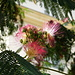 Blüte und Fruchtstand der Mimose