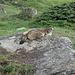Orvieille - Marmotta presso la casa reale di caccia