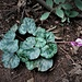 Cyclamen purpurascens Mill.<br />Primulaceae<br /><br />Ciclamino delle Alpi.<br />Cyclamen d'Europe.<br />Europäischen Alpenvelichen.
