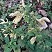Salvia glutinosa L.<br />Lamiaceae<br /><br />Salvia vischiosa.<br />Sauge glutineuse.<br />Klebrige Salbei.