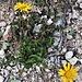Buphtalmum salcifolium ???