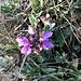 Prunella vulgaris L.<br />Lamiaceae<br /><br />Prunella comune.<br />Brunelle commune.<br />Kleine Brunelle.