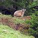 als ich ein Stück abseits vom Wanderweg über eine Alp gelaufen bin, hat mich noch ein Murmeli  überrascht.