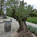 Der Olivenbaum freut sich über den Klimawandel
