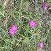 <b>Garofano alpino (Dianthus glacialis o Dianthus alpinus).</b>